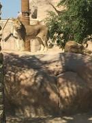 Sortie zoo Al Ain CE1 (5)